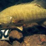 Smallmouth bass in the water near a numbered nest marker placed by researchers